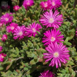 Mesembryanthemum species - Pink