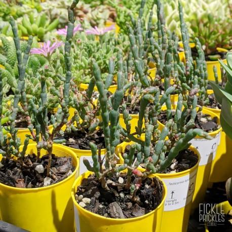 Tecticornia lepidosperma - product size