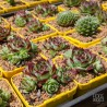 Sempervivum calcareum 'Petite Ceuse'