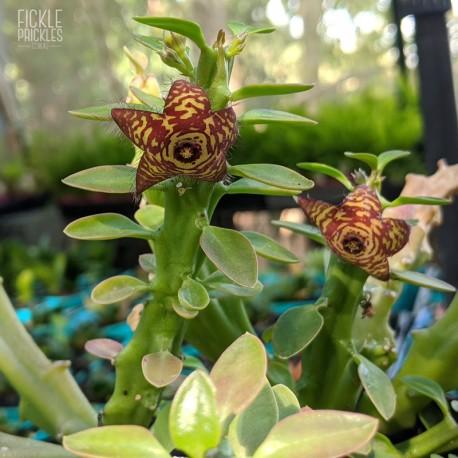 Frerea indica flower