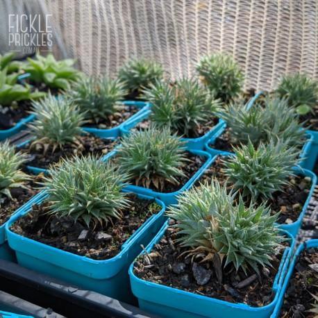 Deuterocohnia brevifolia - product size