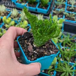 Euphorbia flanaganii cristata