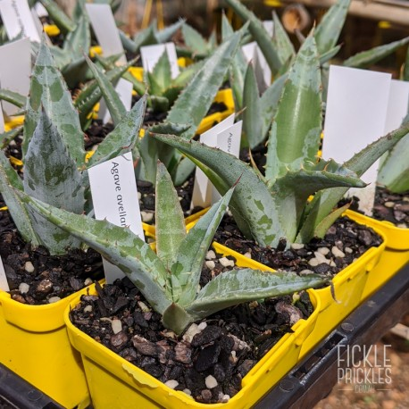Agave avellanidens - product size