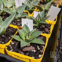 Agave horrida ssp. horrida