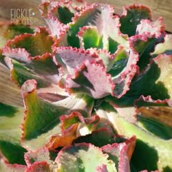 Echeveria 'Dick's Pink'