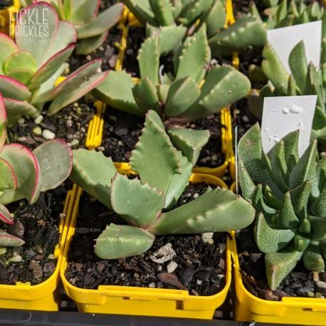 Carruanthus ringens - product size