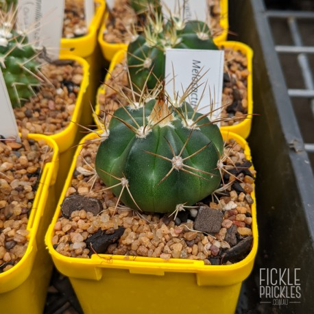 Melocactus oreas - product size