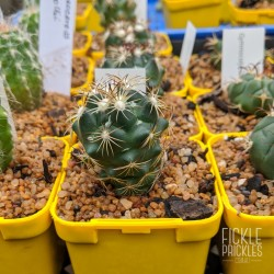 Thelocactus bicolor - product size