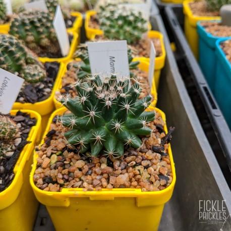 Mammillaria heyderi - product size