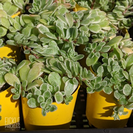 Sedum makinoi variegata (product size)