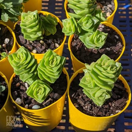 Crassula 'Green Pagoda' (product size)