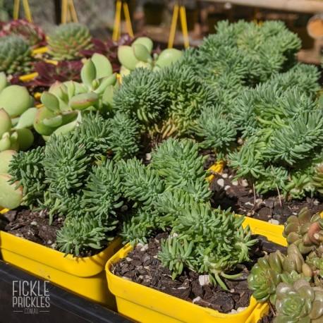 Sedum rupestre cristata - product size