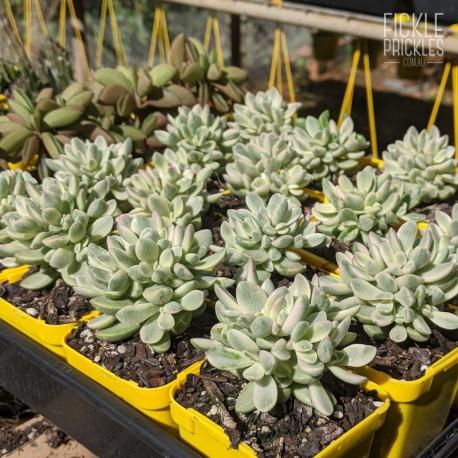 Crassula rogersii variegata - product size