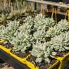 Crassula rogersii variegata