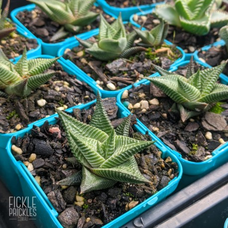 Haworthia limifolia - product size