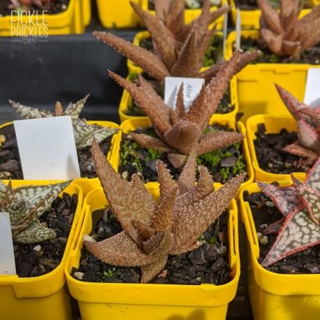 Aloe 'Jupiter' - product size