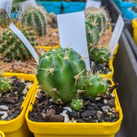 Echinopsis hertrichiana - product size