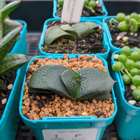 Gasteria ellaphieae - product size
