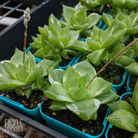Haworthia cymbiformis variegata - product size