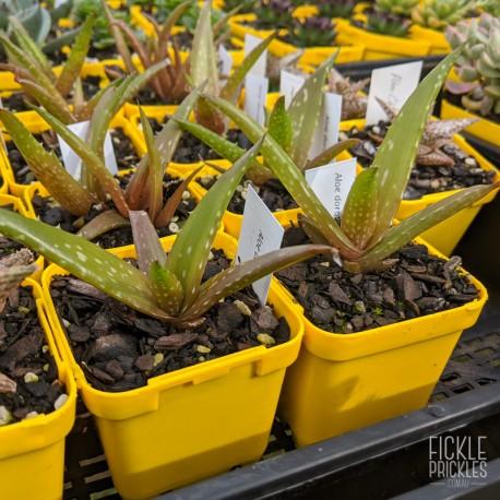 Aloe dorotheae - product size