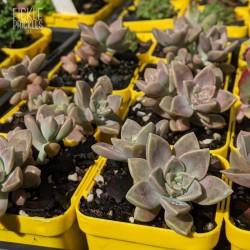 Graptopetalum paraguayense ssp. bernalense