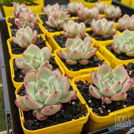 Echeveria colorata - product size