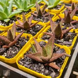 Aloe 'Latte'