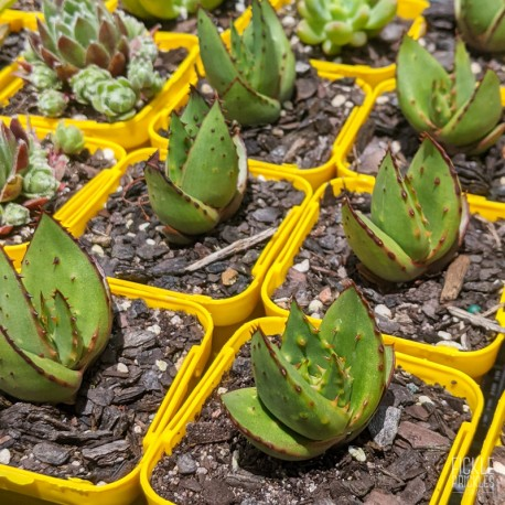 Aloe broomii - product size