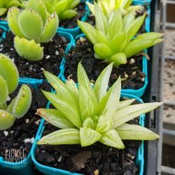 Haworthia hybrid - Variegated