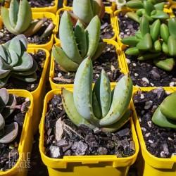 Aloe claviflora - product size