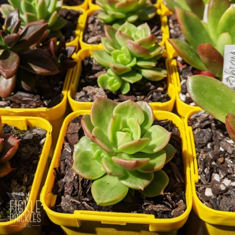 Sedeveria 'Rolly' - product size