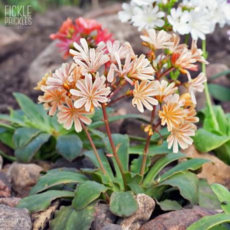 Lewisia cotyledon 'Elise' - Flowers