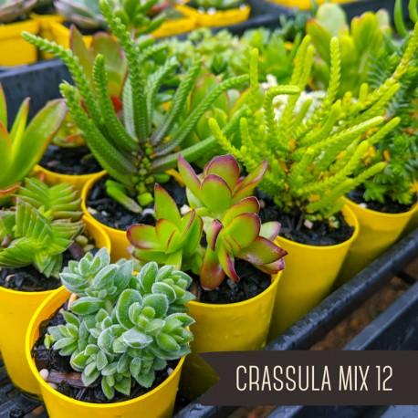 Crassula Mix of 12