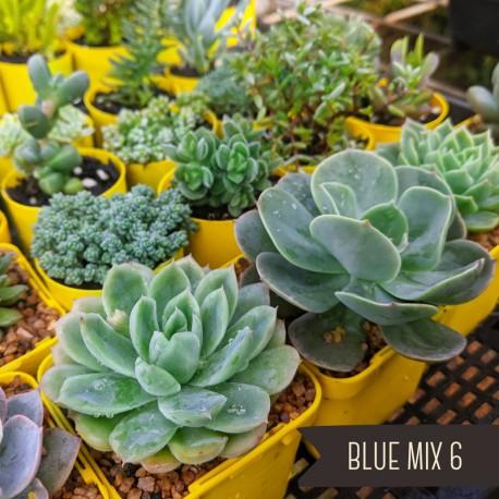 Blue Succulents Mix of 6