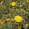 Delosperma cooperi 'Delmara Yellow'