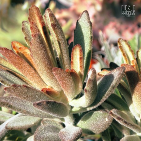 Kalanchoe tomentosa 'Chocolate Soldier'