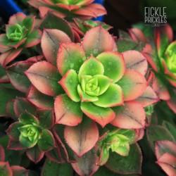 Aeonium haworthii tricolour