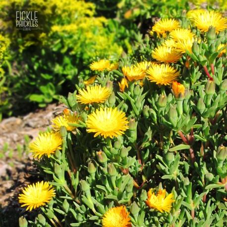 Mesembryanthemum crystallinum 'Golden Sun'