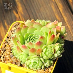 Sempervivum 'Hen and Chicks'