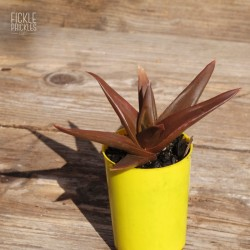 Aloe 'Black Gem'