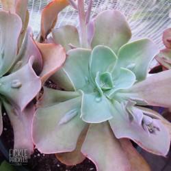Echeveria gibbiflora 'Paul Bunyan'