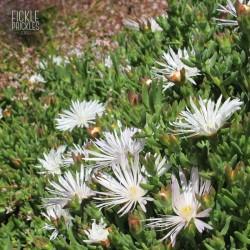 Mesembryanthemum crystallinum 'White Sun'