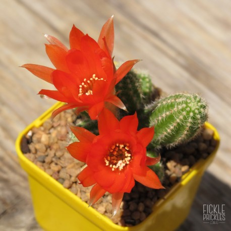 Echinopsis chamaecereus in flower