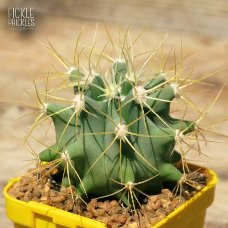 Ferocactus glaucescens (Product size)