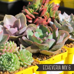 Echeveria Mix of 6