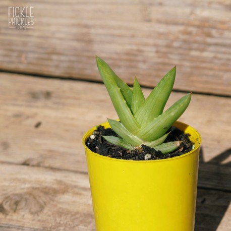 Aloe 'Walmsley's Blue' - Product Size