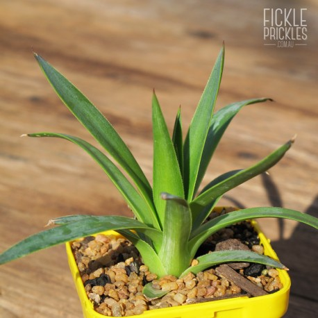 Agave dasylirioides - Product Size