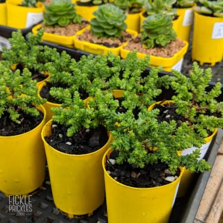 Sedum moranense - product size