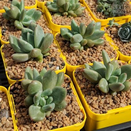 Echeveria colorata f. brandtii - product size