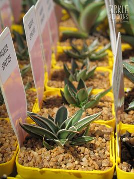 Named varieties of Agave